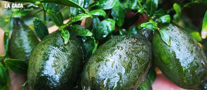 fingerlime and citrus australasica