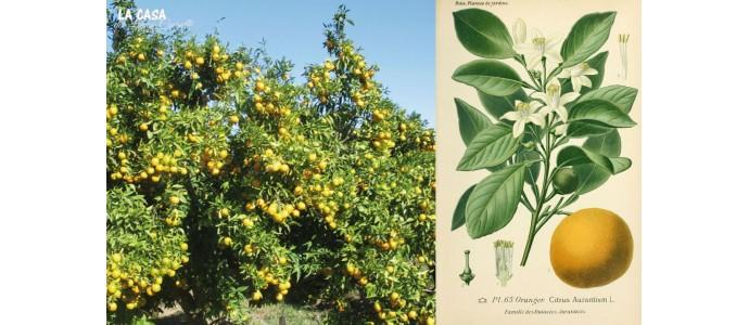 Citrus Fertilizer Root System