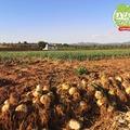 Les #Oignons de LLIRIA. c'est beau, et c'est délicieux.  Recogemos las #Cebollas de LLIRIA. Es hermoso, y es delicioso.  #LaCasaDeLimonCaviar #LaCasaDeLimonDeCarolina #caviardelimon #caviardecitricos #citroncaviar www.lacasadelimon.com  #Valencia #Lliria  #citricos #agrumes