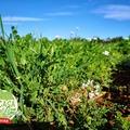 Felicidad, #primavera, nuestra plantación #ecológica, #LaCasaDeLimon #caviardelimon #caviardecitricos  Le bonheur, le #printemps, notre plantation #écologique , LaCasaDeLimon #citroncaviar