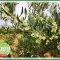 Nuestros olivos ecológicos están en floración.❤️ Nos Oliviers bio sont en fleurs.❤️ #LaCasaDeLimonCaviar #LaCasaDeLimonDeCarolina #ecológico #OliviersBio