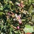 Capullo de flor, Bouton floral,  Brotación, Bourgeonnement,  El Sabor de lo Bello, lo Bueno, lo Excepcional. Le Goût du Beau, du Bon, de l'Exceptionnel. #LaCasaDeLimonCaviar #LaCasaDeLimonDeCarolina #caviardelimon #caviardecitricos #citroncaviar www.lacasadelimon.com  #Valencia #Lliria  #citricos #agrumes