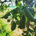 Juste un vrai plaisir 🌱 Just a real pleasure 🌱 Solo un verdadero placer 🌱 Bare en rigtig fornøjelse 🌱 Einfach ein echter Genuss🌱  #Citroncaviar #Dessert #Fruit #Agriculturebiologique  #Fruitsfrais #Sanspesticides #VergersEcoresponsables #HVE ... #Caviardelimonecológico #Postre #Frutaecológico #Agriculturaecológico #Sinpesticidas #caviarcitricos  ... #Lemoncaviarorganic #fingerlime #Organicfruit #Organicfarming #healthyfood ... #Citronkaviar #Økologisk #Sundmad #landbrug #grøntsager #frugter ... #Zitronen #Bioobst #GesundEssen #Biologische #fruchte  🎯 : www.lacasadelimon.com  ✉️ : ventas@lacasadelimon.com  📲 : +34 961.043.079 WhatsApp : +34 605 271 480   ◦•●◉✿ LA CASA DEL LIMON DE CAROLINA S.L ✿◉●•◦