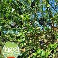 Les jeunes #citronscaviar sont là, bientôt prêts à nous donner des plaisirs gustatifs inoubliables.  Los jóvenes de #caviarcitricos están allí, pronto listos para brindarnos inolvidables placeres del gusto.  #LaCasaDeLimonCaviar #LaCasaDeLimonDeCarolina #caviardelimon #caviardecitricos #citroncaviar www.lacasadelimon.com  #Valencia #Lliria  #citricos #agrumes